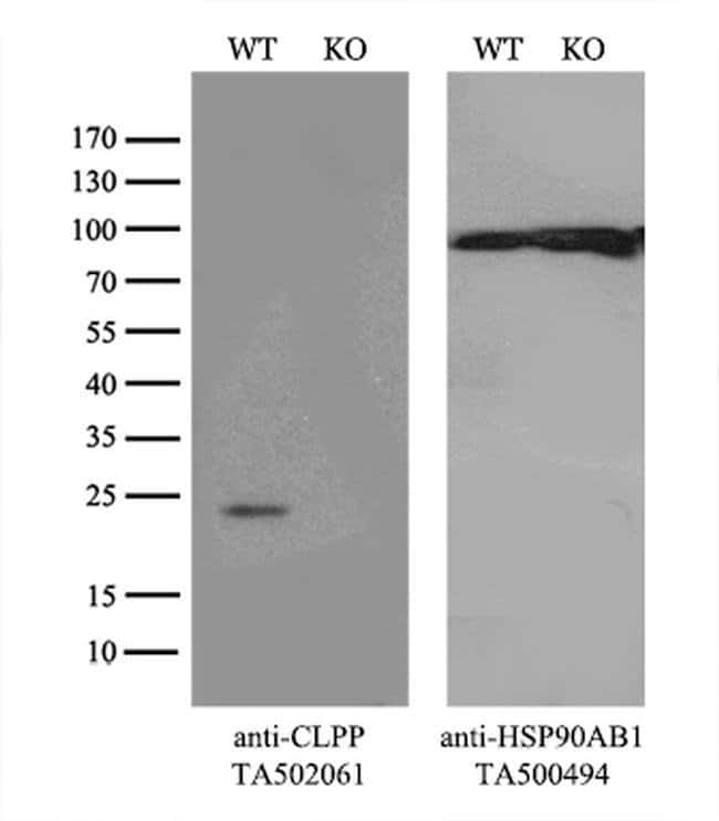 CLPP Mouse anti-Human, Clone: OTI1G9, liquid, TrueMAB  100 µL; Unconjugated