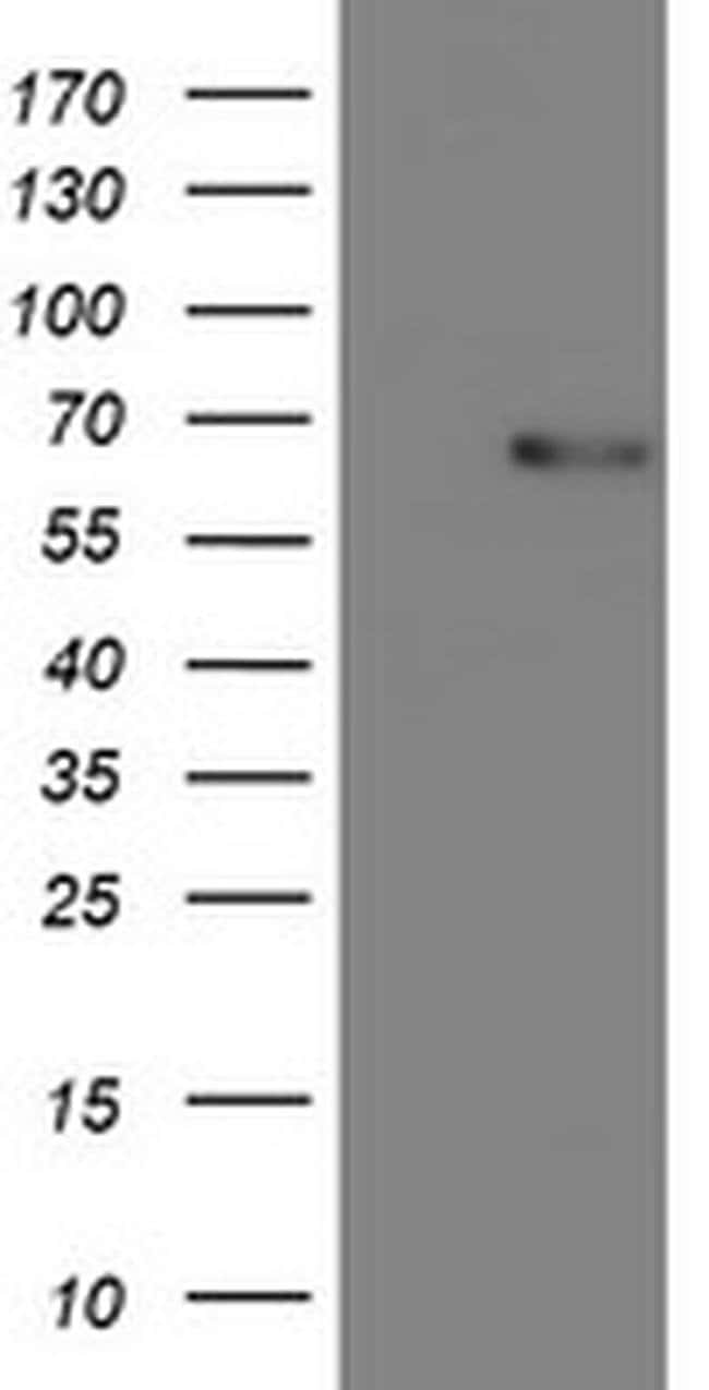 COASY Mouse anti-Human, Clone: OTI2H1, liquid, TrueMAB  100 µL; Unconjugated