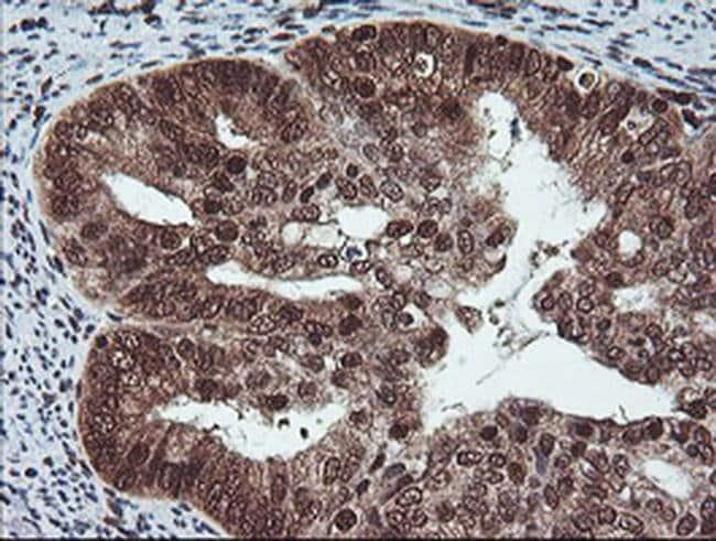 COPS5 Mouse anti-Human, Clone: OTI2B12, liquid, TrueMAB  100 µL; Unconjugated