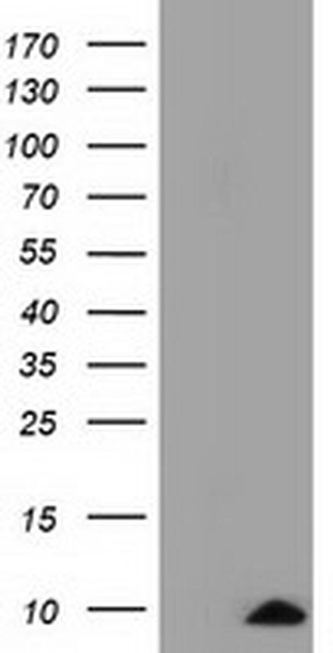COX6A1 Mouse anti-Human, Clone: OTI4G2, liquid, TrueMAB  100 µL; Unconjugated