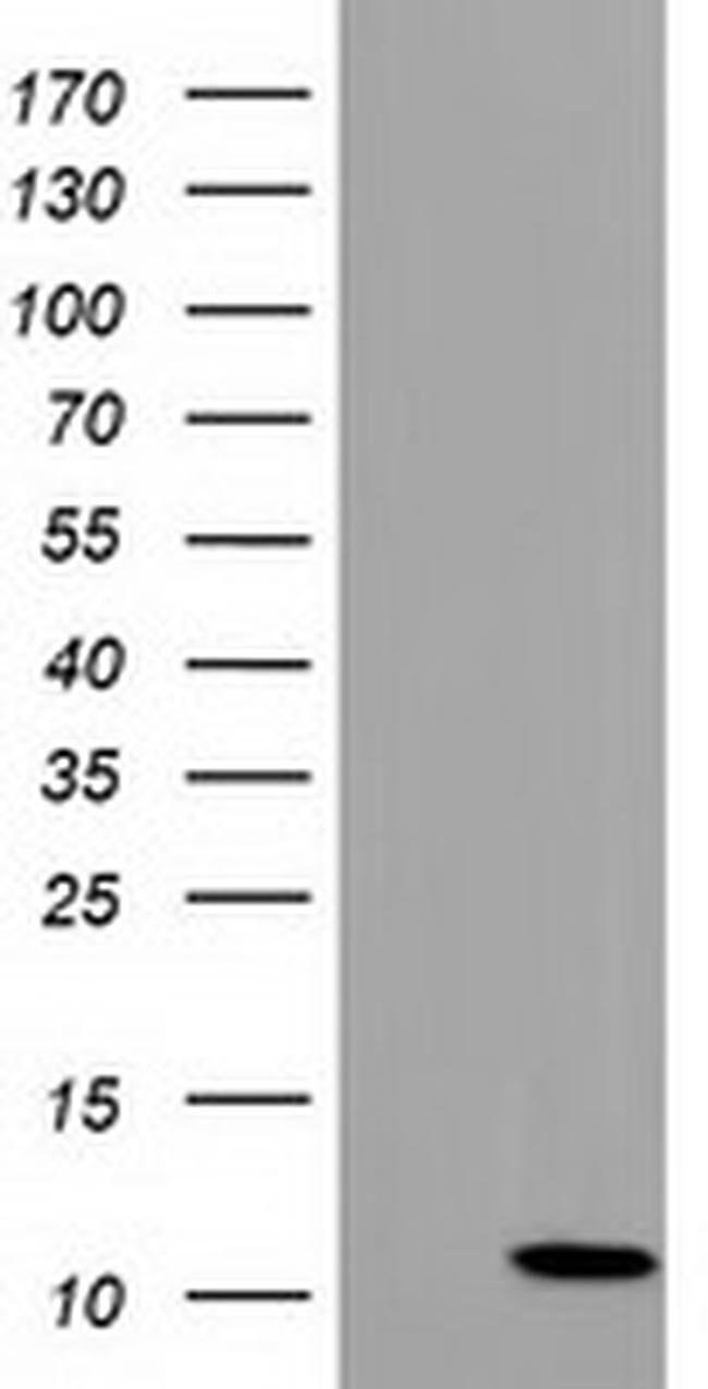 COX6B2 Mouse anti-Human, Clone: OTI1F5, liquid, TrueMAB  100 µL; Unconjugated