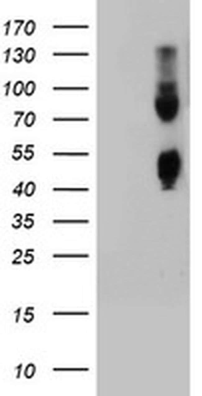 CPO Mouse anti-Human, Clone: OTI4A9, liquid, TrueMAB  100 µL; Unconjugated