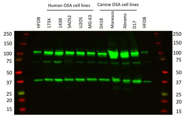 CRM1 Mouse anti-Canine, Human, Mouse, Rat, Clone: 5G3, Invitrogen 100 µg;