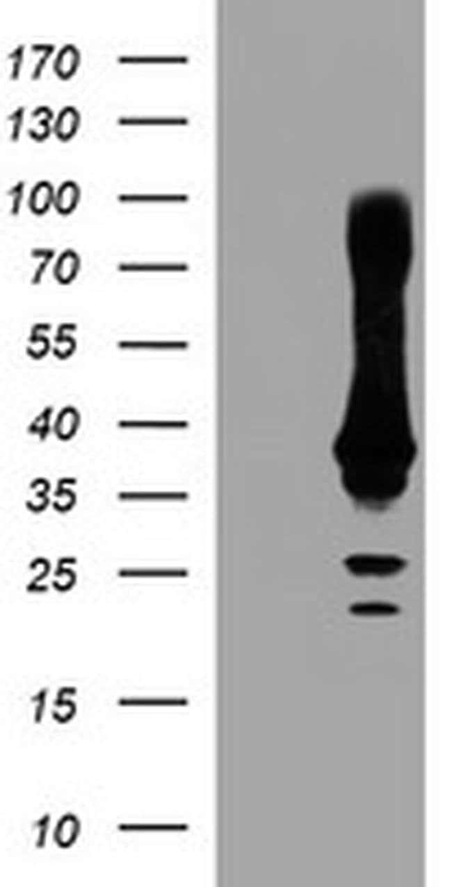 CRYZL1 Mouse anti-Human, Clone: OTI1A3, liquid, TrueMAB  100 µL; Unconjugated