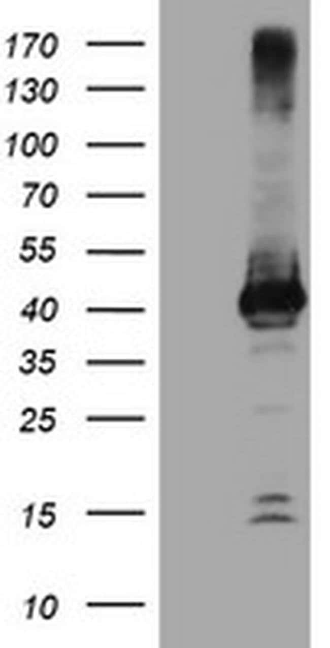 CRYZL1 Mouse anti-Canine, Human, Mouse, Rat, Clone: OTI1C9, liquid, TrueMAB