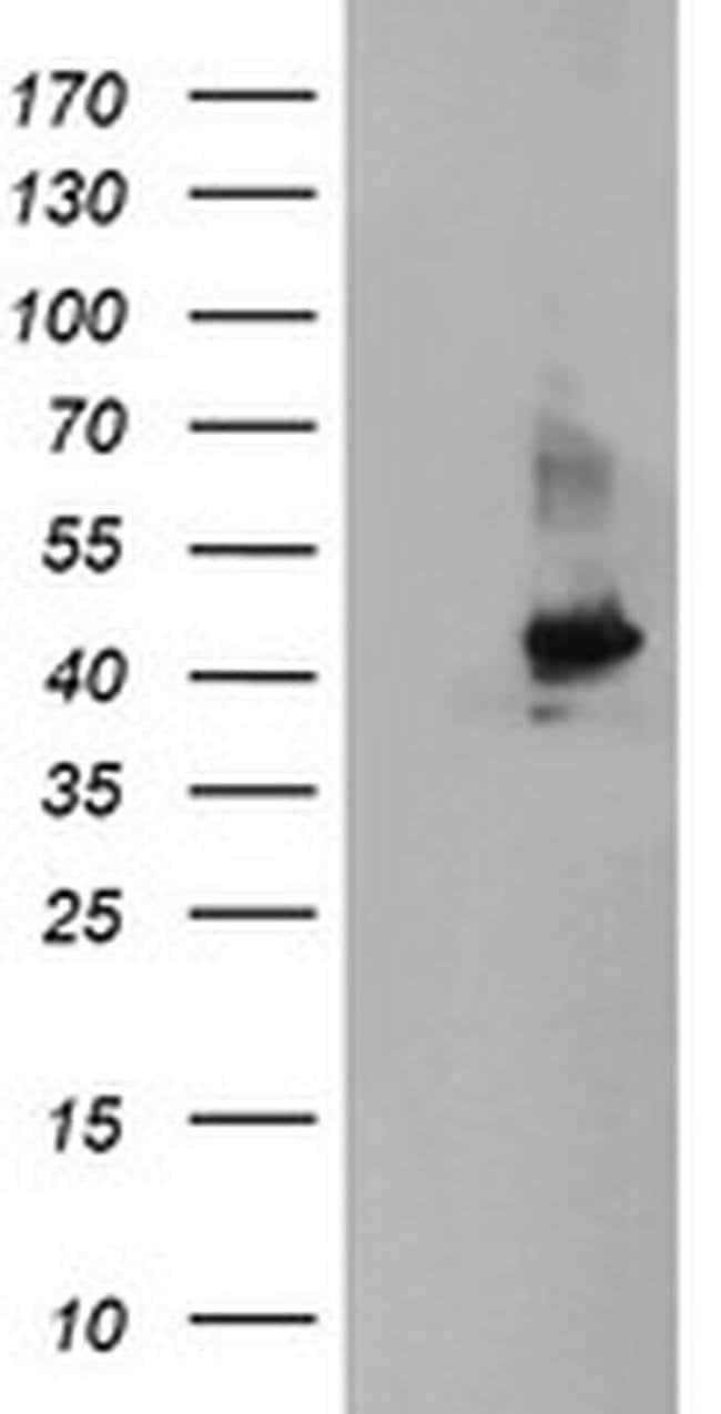 CRYZL1 Mouse anti-Canine, Human, Mouse, Rat, Clone: OTI1D9, liquid, TrueMAB