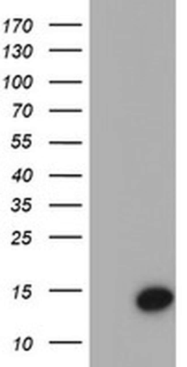 CST4 Mouse anti-Human, Clone: OTI1A3, liquid, TrueMAB  100 µL; Unconjugated