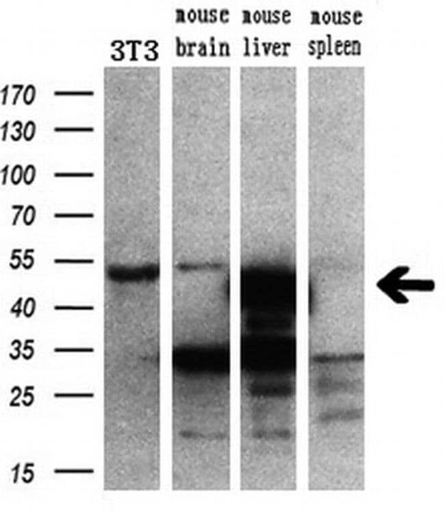 CUGBP1 Mouse anti-Human, Clone: OTI5B8, liquid, TrueMAB  30 µL; Unconjugated