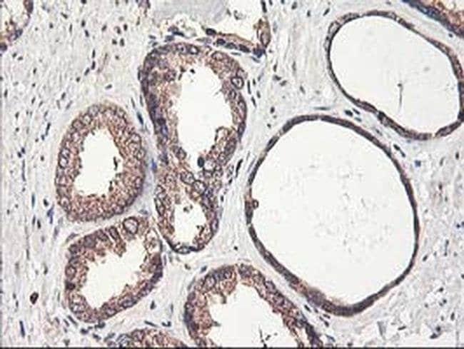 CXorf26 Mouse anti-Human, Clone: OTI4E11, liquid, TrueMAB  100 µL;