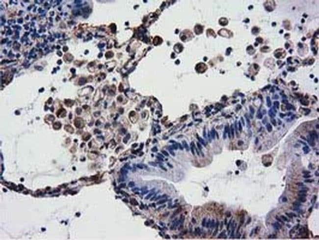 CYB5R3 Mouse anti-Canine, Human, Clone: OTI2A10, liquid, TrueMAB  100 µL;