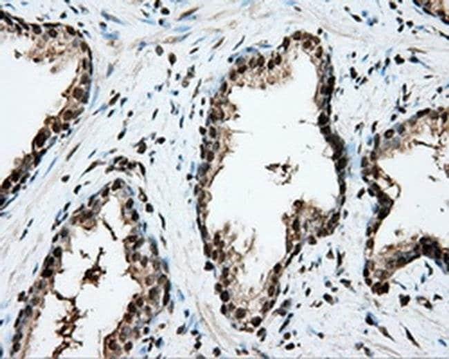 CYP1A2 Mouse anti-Human, Clone: OTI15E2, liquid, TrueMAB  100 µL;