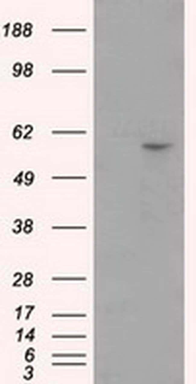 CYP1A2 Mouse anti-Human, Clone: OTI1H3, liquid, TrueMAB  100 µL; Unconjugated