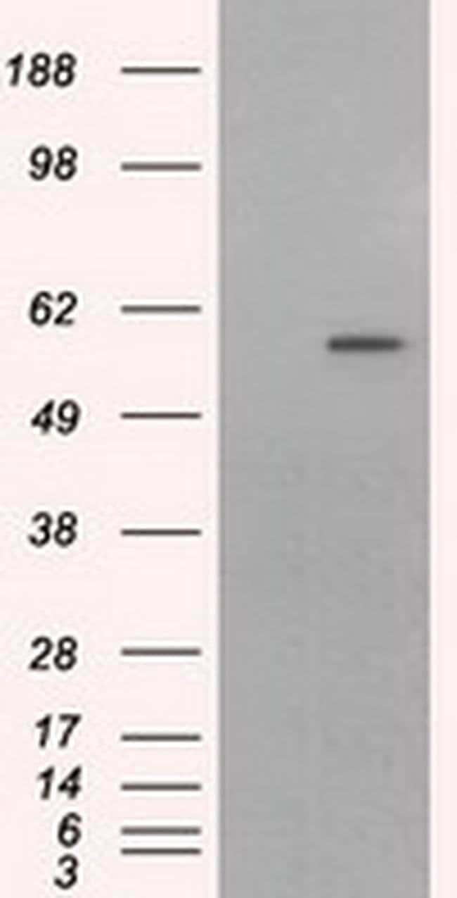 CYP1A2 Mouse anti-Human, Clone: OTI6E2, liquid, TrueMAB  30 µL; Unconjugated
