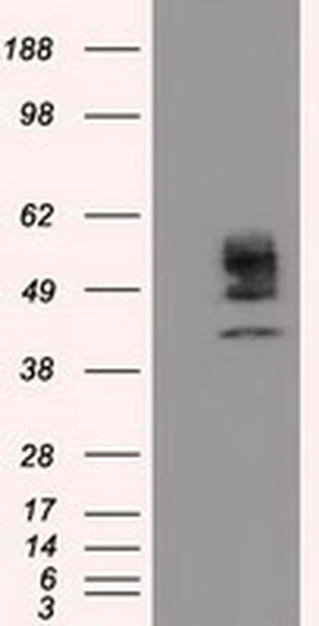 CYP1A2 Mouse anti-Human, Clone: OTI8F1, liquid, TrueMAB  100 µL; Unconjugated