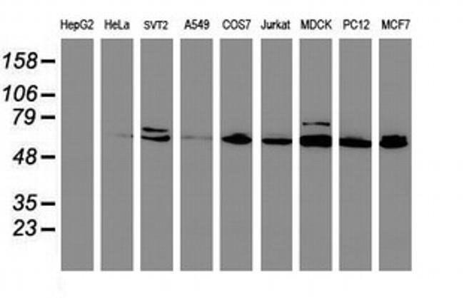 CYP2B6 Mouse anti-Canine, Human, Mouse, Rat, Clone: OTI3D5, liquid, TrueMAB