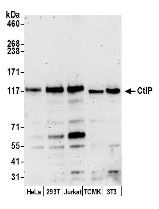 CtIP, Polyclonal, Bethyl Laboratories ::