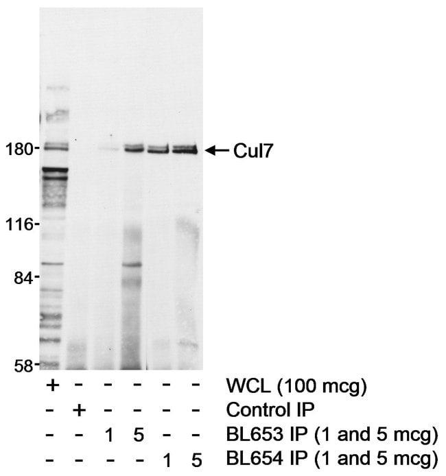 Cul7 Rabbit anti-Human, Polyclonal, Bethyl Laboratories  100 µL; Unconjugated
