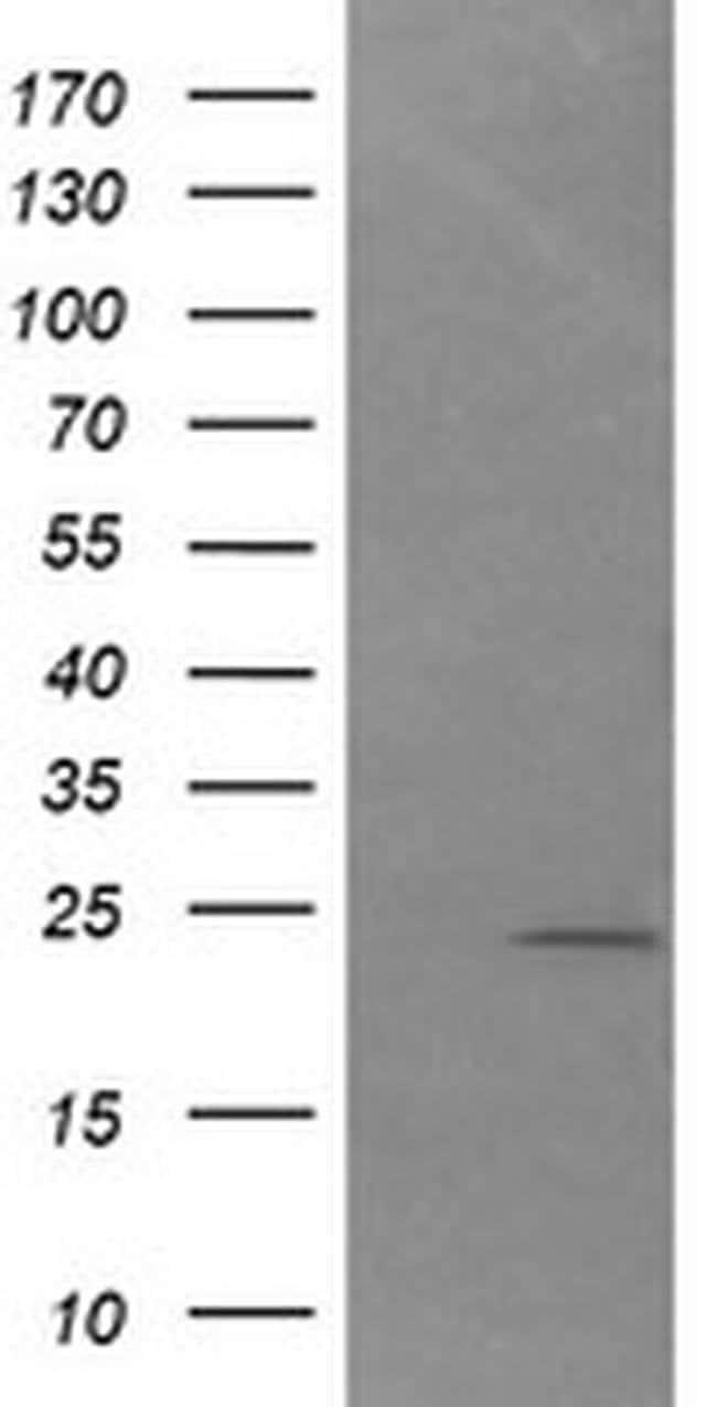 DAND5 Mouse anti-Human, Clone: OTI3D4, liquid, TrueMAB  100 µL; Unconjugated