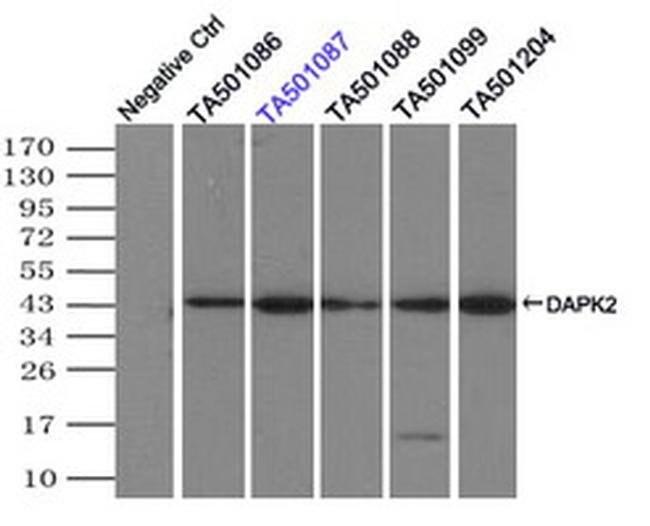 DAPK2 Mouse anti-Human, Clone: OTI1C8, liquid, TrueMAB  100 µL; Unconjugated