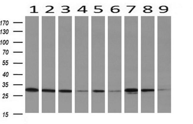 DCK Mouse anti-Human, Clone: OTI16G6, liquid, TrueMAB  100 µL; Unconjugated