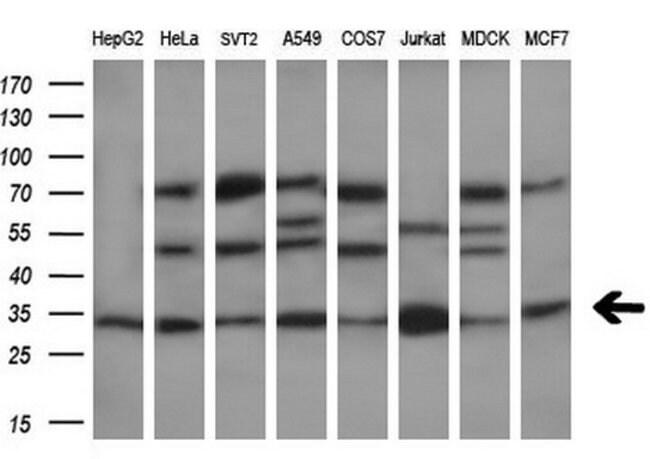 DCK Mouse anti-Human, Clone: OTI15E12, liquid, TrueMAB  100 µL; Unconjugated