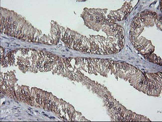 DDT Mouse anti-Human, Clone: OTI3A11, liquid, TrueMAB  100 µL; Unconjugated