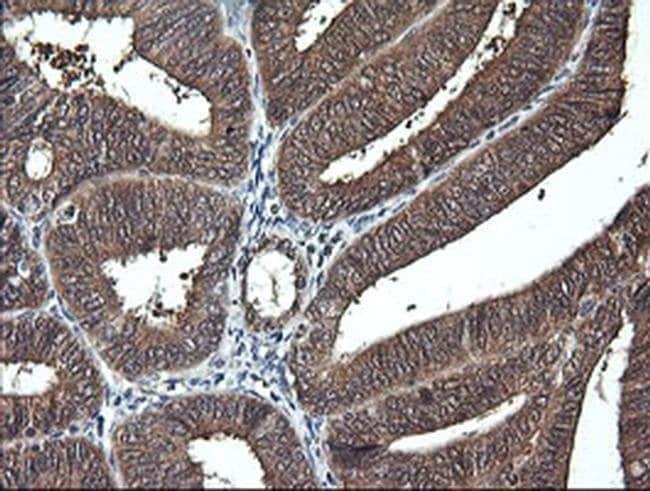 DDT Mouse anti-Human, Clone: OTI1H3, liquid, TrueMAB  100 µL; Unconjugated