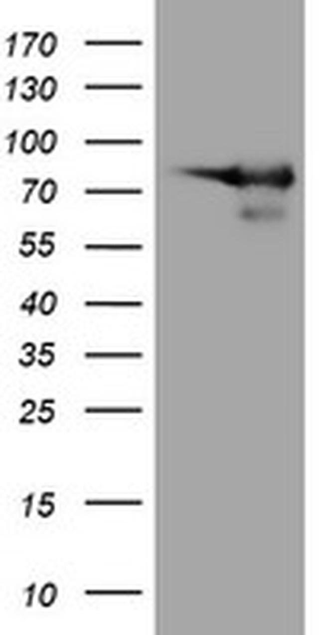 DEF6 Mouse anti-Human, Clone: OTI3C4, liquid, TrueMAB  100 µL; Unconjugated