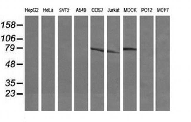 DEF6 Mouse anti-Canine, Human, Clone: OTI2G2, liquid, TrueMAB  100 µL;