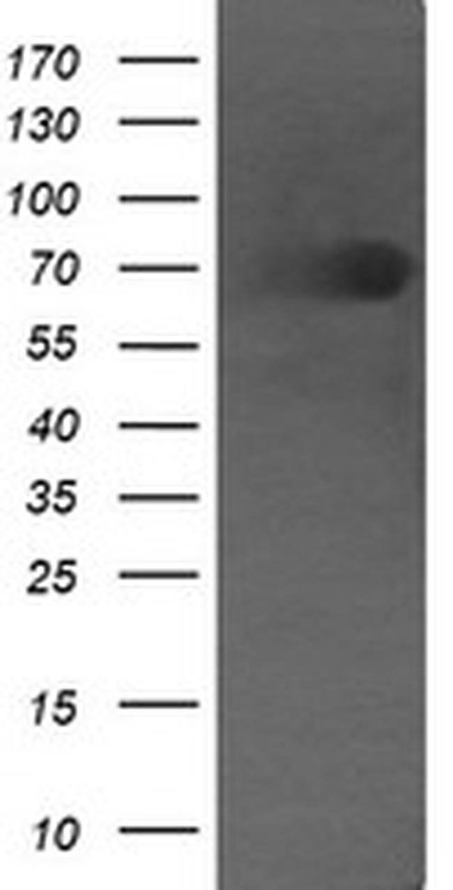 DEF6 Mouse anti-Human, Clone: OTI4B5, liquid, TrueMAB  100 µL; Unconjugated