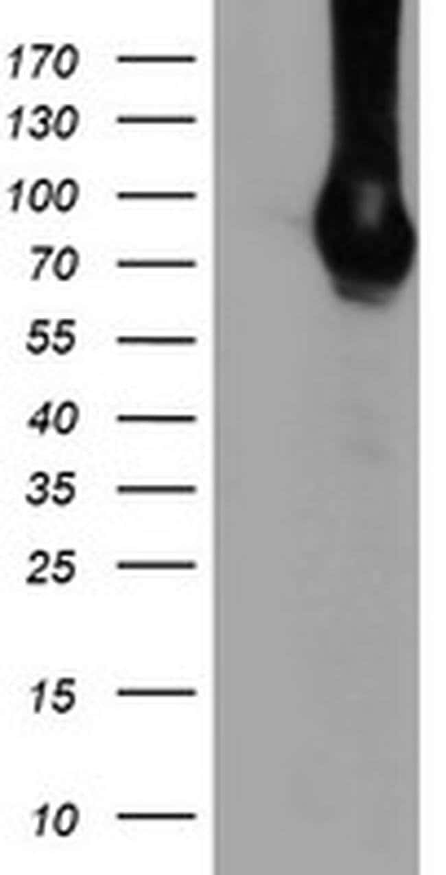 DGKA Mouse anti-Canine, Human, Clone: OTI8G5, liquid, TrueMAB  100 µL;
