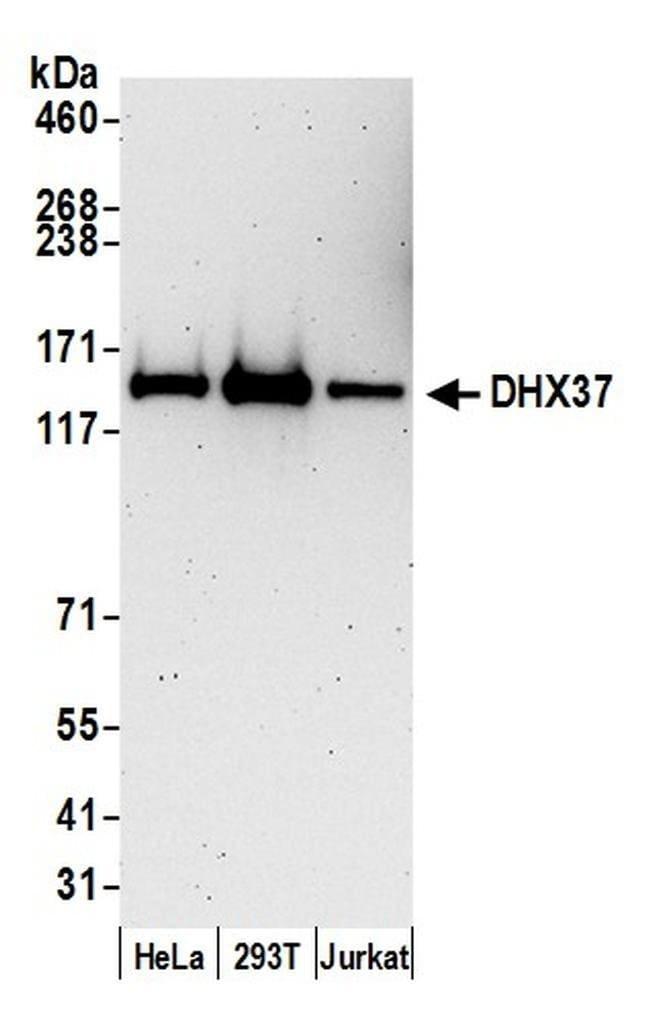 DHX37, Polyclonal, Bethyl Laboratories  100 µl; Unlabeled