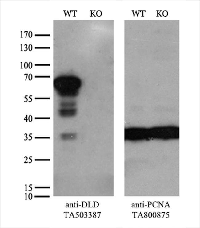 DLD Mouse anti-Human, Clone: OTI6D5, liquid, TrueMAB  30 µL; Unconjugated