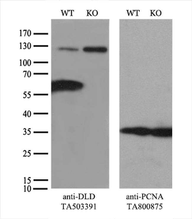 DLD Mouse anti-Canine, Human, Mouse, Rat, Clone: OTI5G7, liquid, TrueMAB