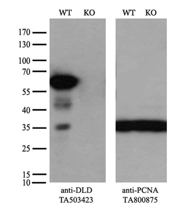 DLD Mouse anti-Human, Clone: OTI4D5, liquid, TrueMAB  100 µL; Unconjugated