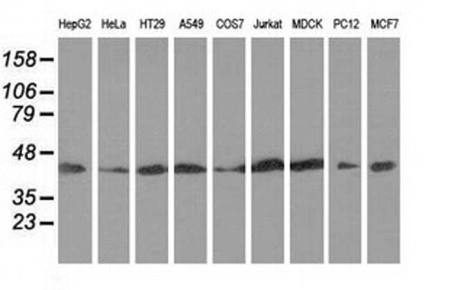 DNAJA2 Mouse anti-Canine, Human, Rat, Clone: OTI3A10, liquid, TrueMAB