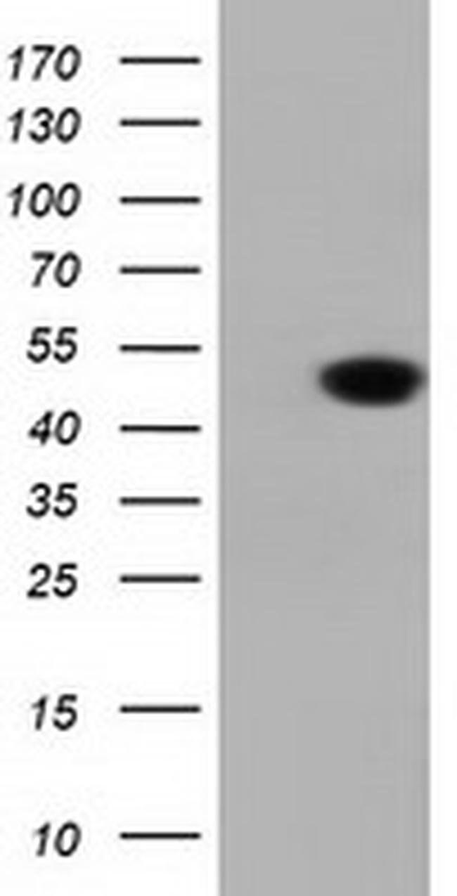 DNAJA2 Mouse anti-Human, Clone: OTI1C4, liquid, TrueMAB  100 µL; Unconjugated