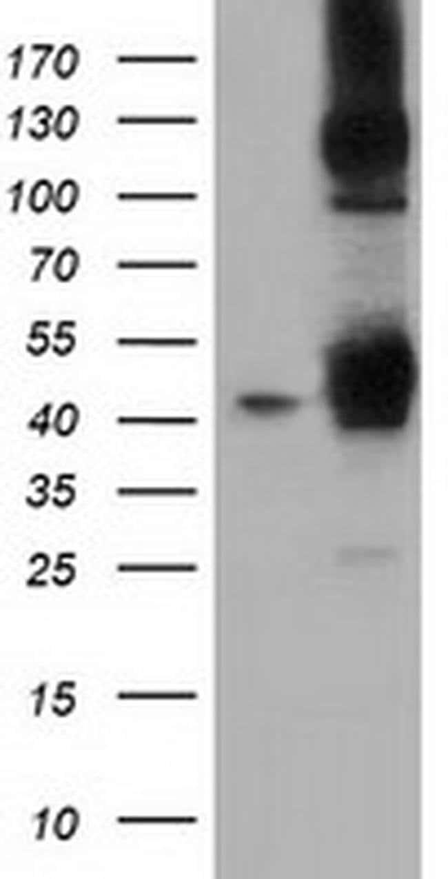 DNAJA2 Mouse anti-Canine, Human, Rat, Clone: OTI3A1, liquid, TrueMAB  100