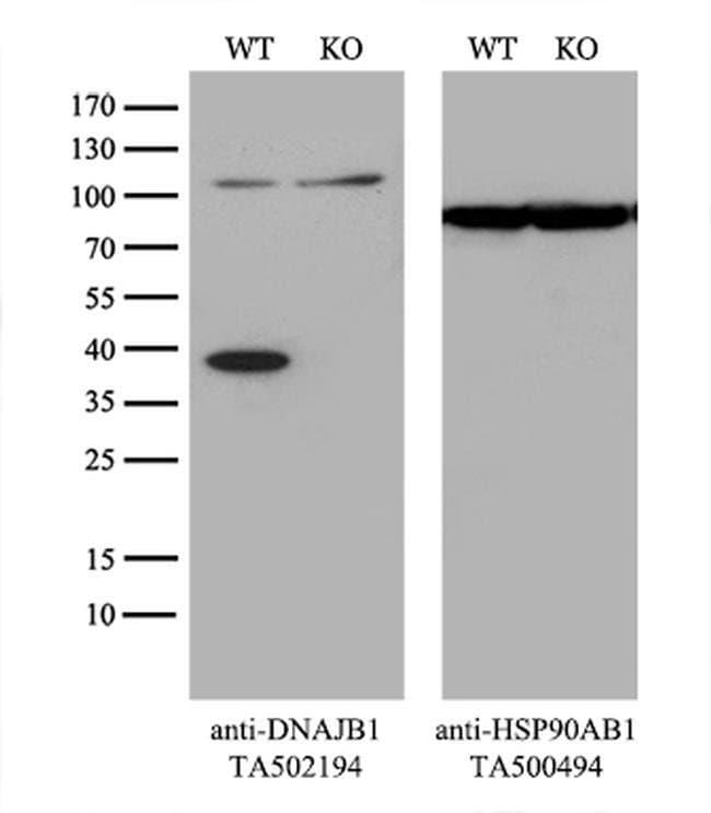 DNAJB1 Mouse anti-Human, Clone: OTI1E9, liquid, TrueMAB  100 µL; Unconjugated