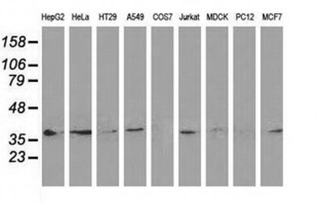 DNAJB1 Mouse anti-Canine, Human, Clone: OTI1F9, liquid, TrueMAB  100 µL;