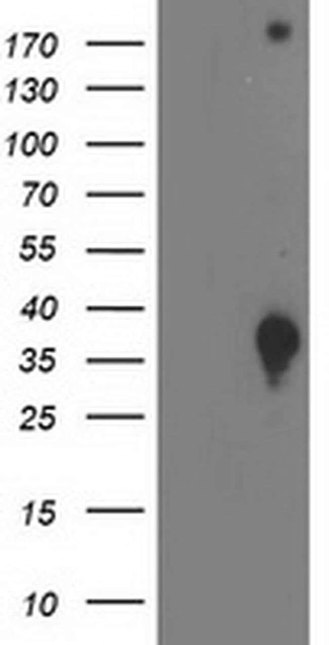 DNAJB2 Mouse anti-Human, Clone: OTI4D12, liquid, TrueMAB  100 µL;