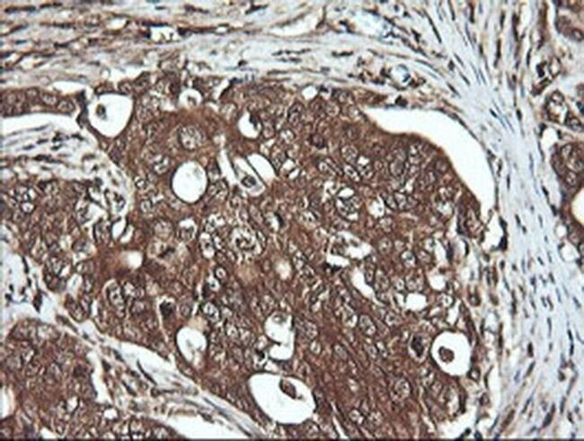 DNM1L Mouse anti-Human, Clone: OTI1C1, liquid, TrueMAB  100 µL; Unconjugated