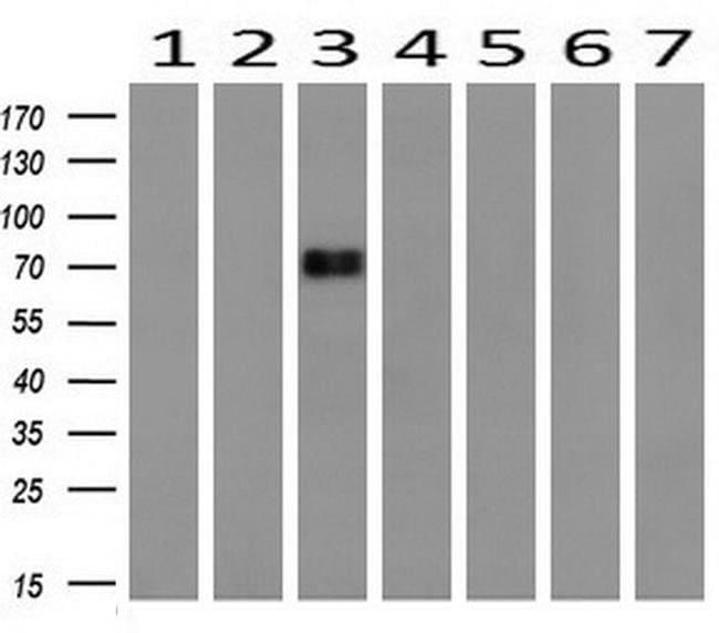 DNM1L Mouse anti-Canine, Human, Mouse, Rat, Clone: OTI4F6, liquid, TrueMAB