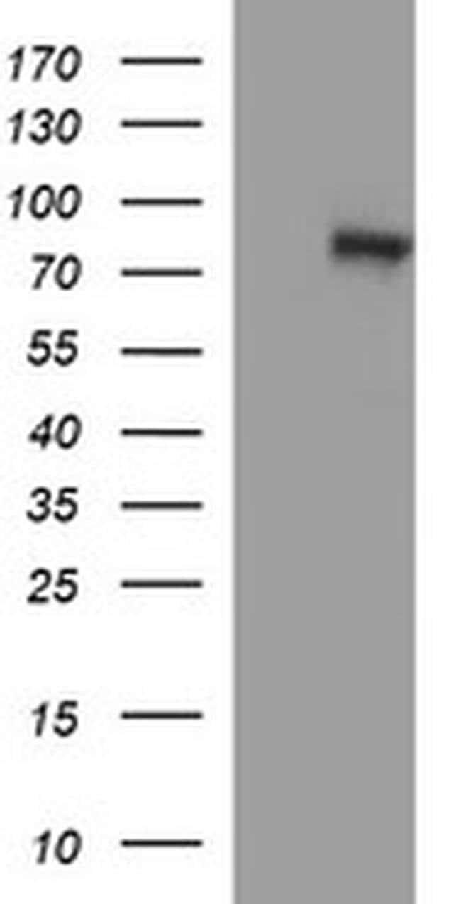 DNM1L Mouse anti-Human, Clone: OTI4A4, liquid, TrueMAB  100 µL; Unconjugated