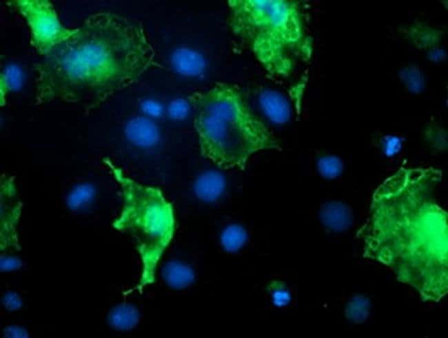 DOK7 Mouse anti-Human, Clone: OTI4C6, liquid, TrueMAB  100 µL; Unconjugated