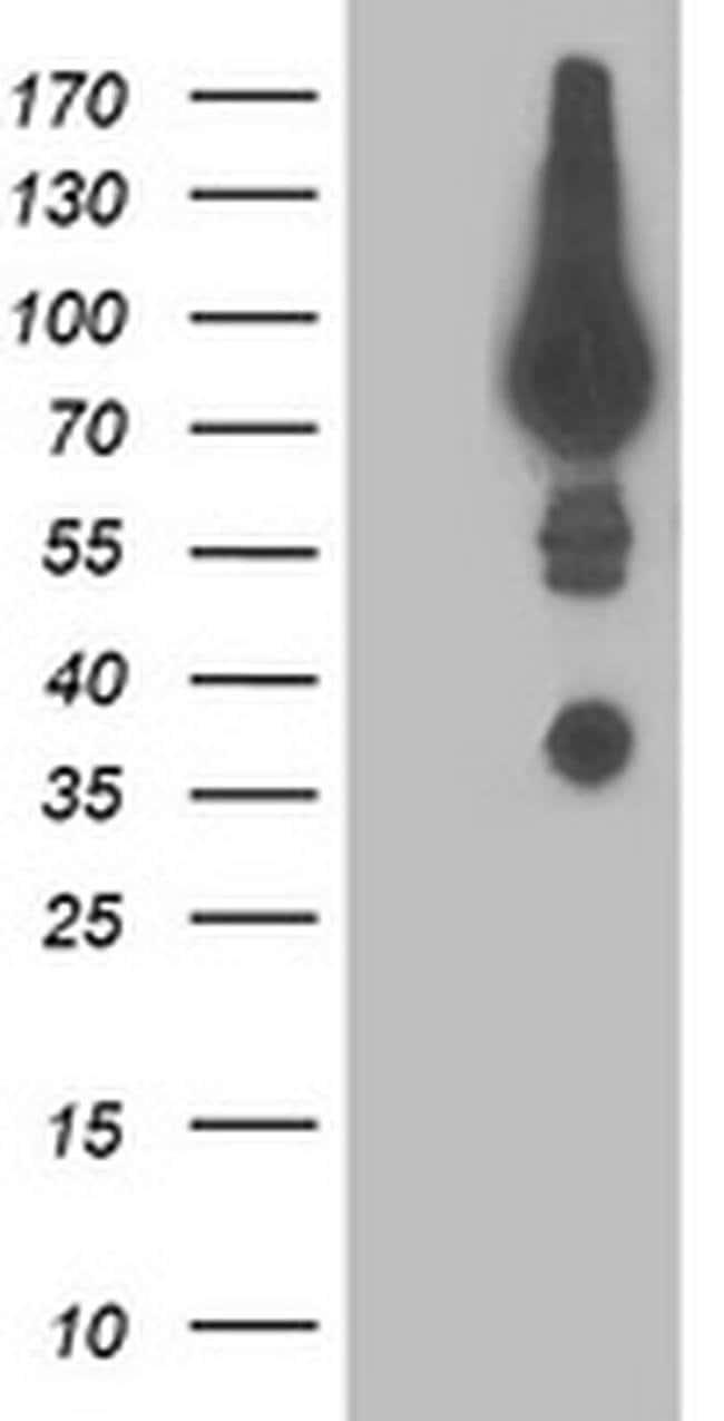 DPP3 Mouse anti-Human, Clone: OTI2A12, liquid, TrueMAB  100 µL; Unconjugated