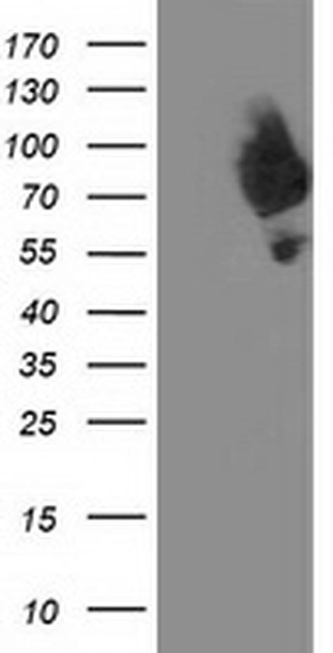 DPP3 Mouse anti-Human, Clone: OTI 2B12, liquid, TrueMAB  100 µL; Unconjugated