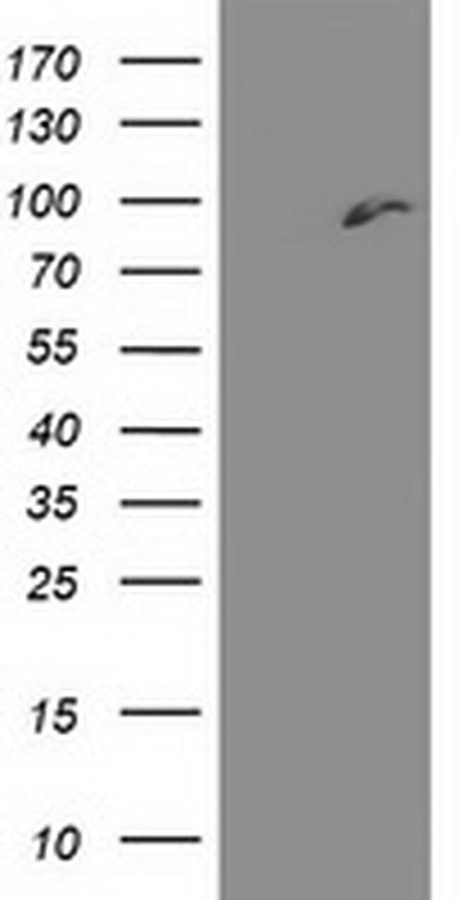 DPP3 Mouse anti-Human, Clone: OTI 2A8, liquid, TrueMAB  100 µL; Unconjugated