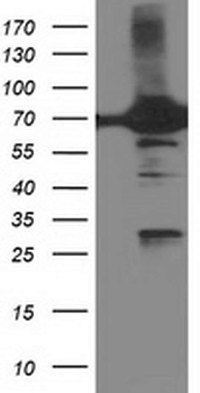 DPP3 Mouse anti-Human, Clone: OTI4B6, liquid, TrueMAB  100 µL; Unconjugated