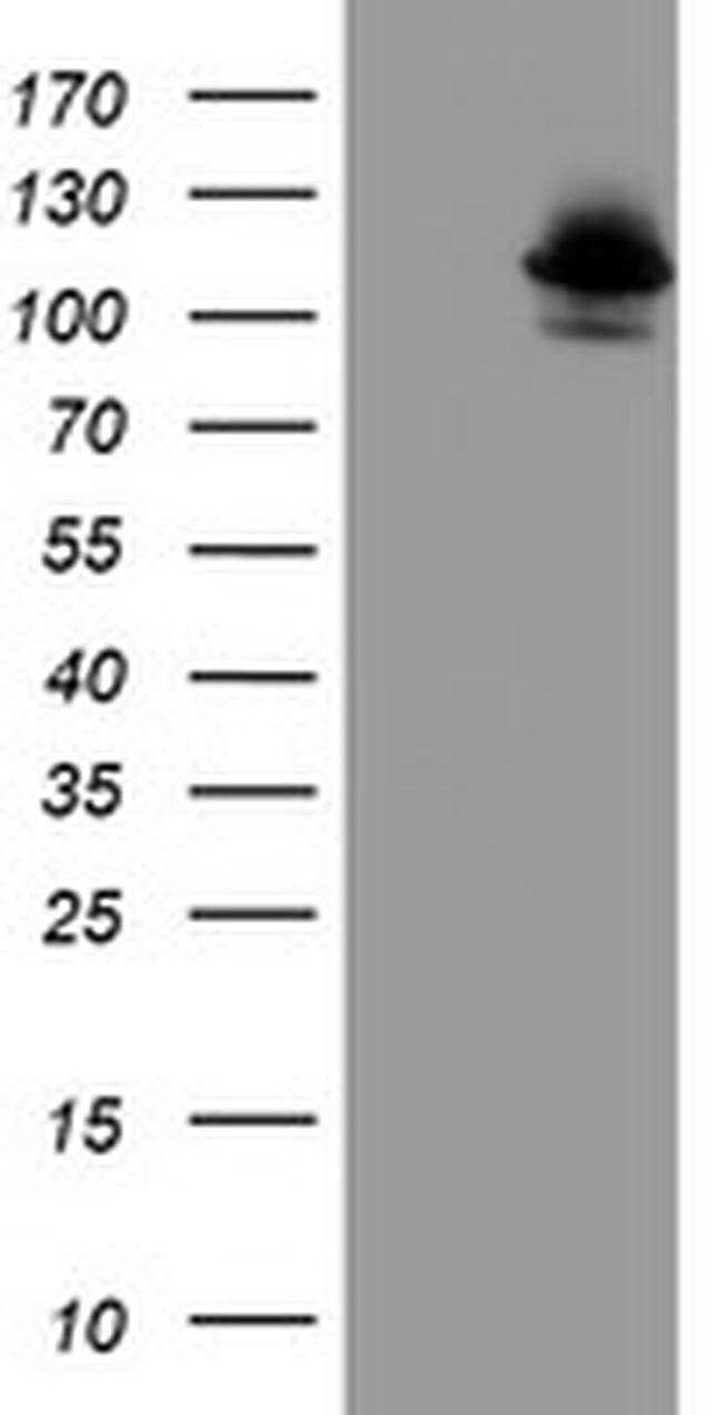DPP8 Mouse anti-Canine, Human, Mouse, Rat, Clone: OTI1D2, liquid, TrueMAB
